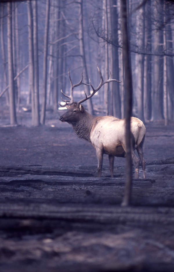 Elk in Burned Forest after Yellowstone Fire, 1988 (National Park Service)